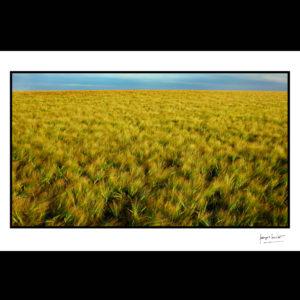 normandie blé barbu tourville la campagne © francois louchet