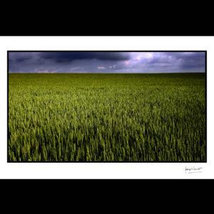 normandie blé dru avant la pluie trun © francois louchet