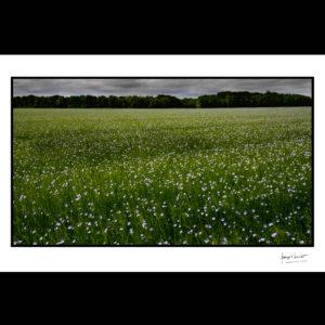 normandie petites fleurs de lin © francois louchet