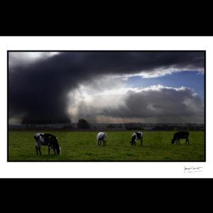 normandie vache d'orage espins © francois louchet